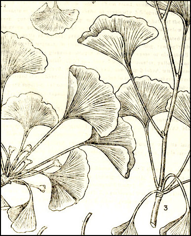 "Ginkgo leaves drawing from ""E Mei Zhi Wu Tu Zhi"" by Fang Wen Pei (1945)"