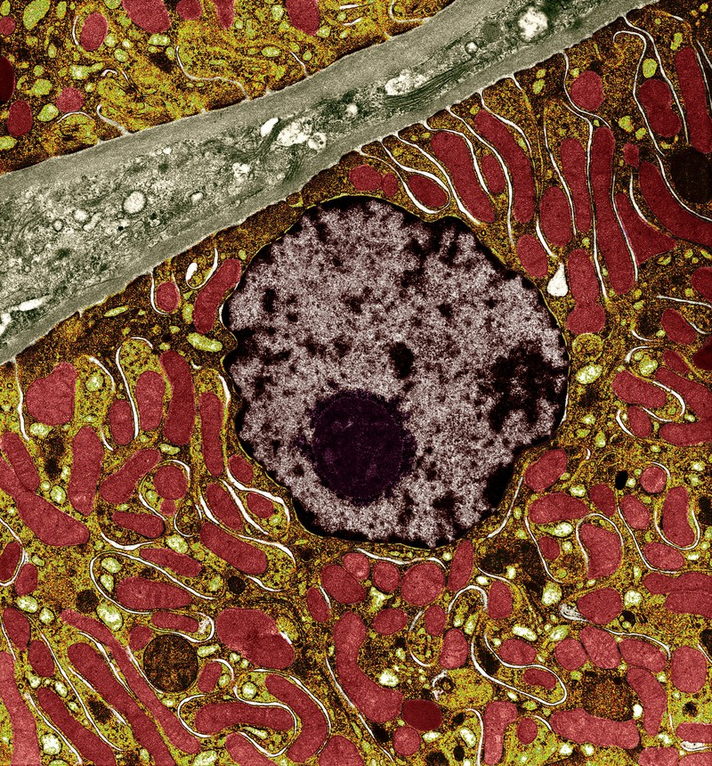 Kidney cell showing nucleus and mitochondria. Credit: University of Edinburgh. CC BY-NC 4.0