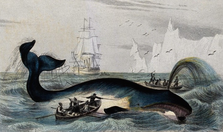 A whale being speared with harpoons by fishermen in the arctic sea