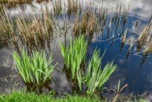 Pond with reeds